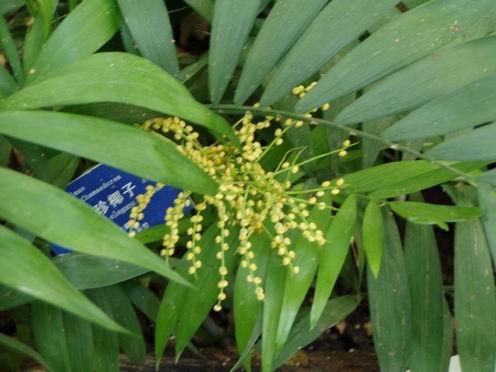 袖珍椰子 热带 温室 北京植物园/袖珍椰子
